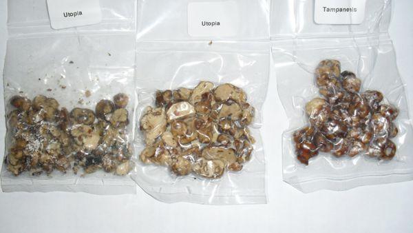 Sembravano tartufi della Valnerina ma in realtà erano funghi allucinogeni. 4 giovani nei guai.